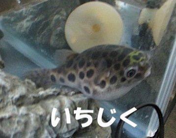 ミドリフグ いちじく.jpg